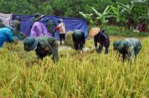 Bộ đội xuống đồng giúp dân thu hoạch lúa